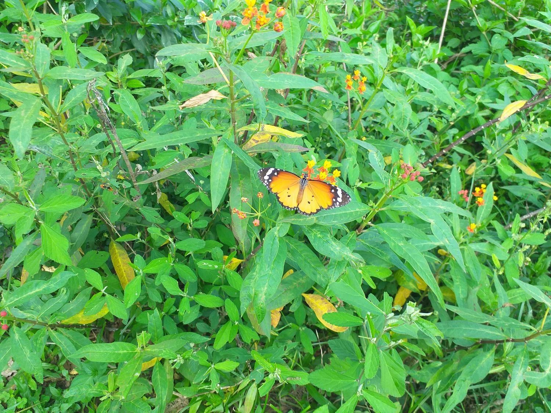 Lantau butterfly
